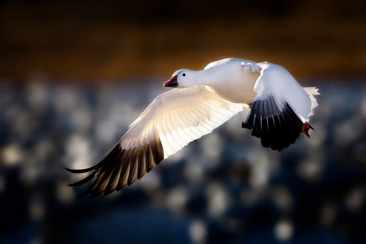 Snow-Goose-Taking-Flight-copy-2