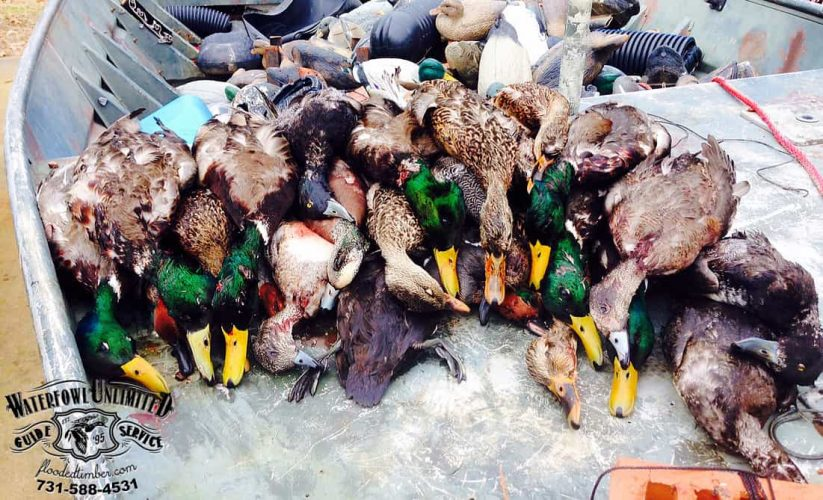reelfoot duck guide mike newsom copy